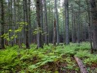 Avalanche Cedars