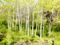 The East side Birch Trees